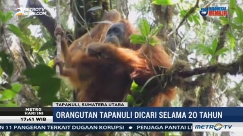 Perkenalkan Spesies Baru Orangutan Tapanuli yang Terancam Punah