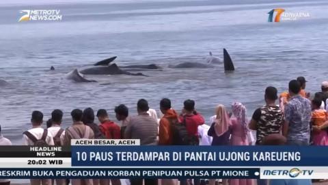 10 Ekor Paus Terdampar di Pantai Ujong Kareung