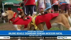 Ratusan Anjing Beagle di Australia Ikuti Parade Natal