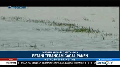 Banjir Rendam Ratusan Hektare Tanaman Padi di Pati