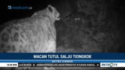 Macan Tutul Salju Langka Terekam Kamera