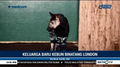 Kebun Binatang London Tambah Koleksi Bayi Okapi