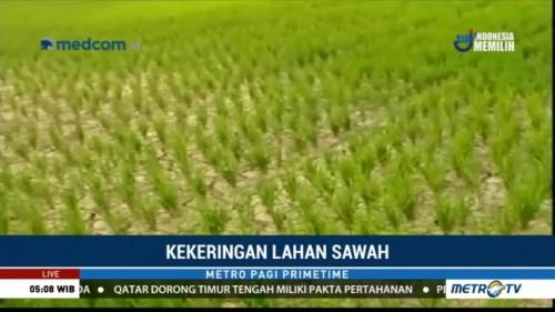 1.600 Hektare Sawah di Aceh Utara Terancam Gagal Panen
