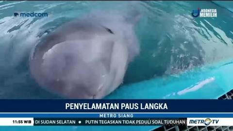 Seekor Paus Beluga Diselamatkan di Pantai Alaska