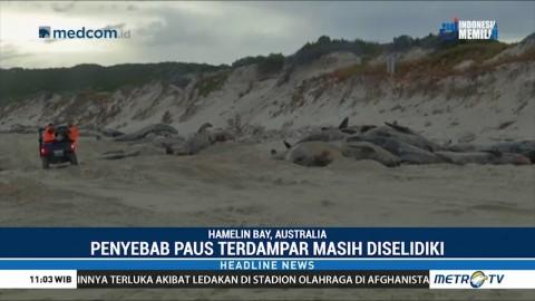 150 Paus Pilot Terdampar di Pantai Australia