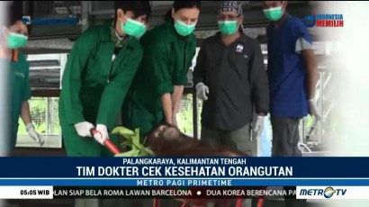 4 Orangutan Dilepasliarkan di Taman Nasional Bukit Baka