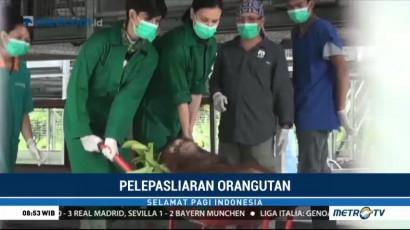Empat Ekor Orang Utan Dilepasliarkan ke Taman Nasional Bukit Baka Bukit Raya