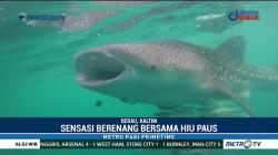 Sensasi Berenang Bersama Hiu Paus di Derawan