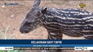 Seekor Tapir Jadi Penghuni Baru Maharani Zoo dan Goa