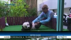 Bayi Panda Umur 5 Bulan Dipamerkan ke Publik Malaysia