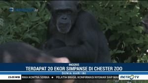 Hampir Punah, Bayi Simpanse Akhirnya Lahir di Kebun Binatang Inggris