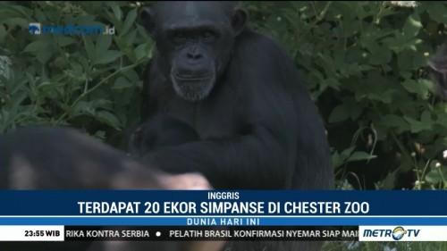 Hampir Punah, Bayi Simpanse Akhirnya Lahir di Kebun Binatang
