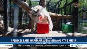 Kucing dan Harimau Ini Ramal Rusia akan Menang atas Mesir