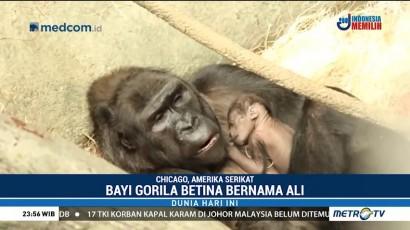 Bayi Gorila Betina Lahir di Kebun Binatang Chicago