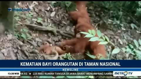 Bayi Orangutan Ditemukan Tewas di TNGL