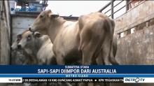 1.918 Ekor Sapi Impor Asal Australia Tiba di Pelabuhan Belawan