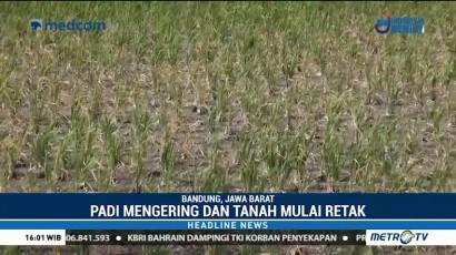 Puluhan Hektare Tanaman Padi di Rancaekek Terancam Puso