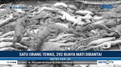 292 Buaya di Sorong Mati Dibantai