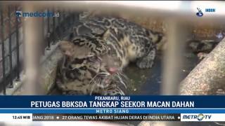 Petugas BBKSDA Riau Tangkap Seekor Macan Dahan