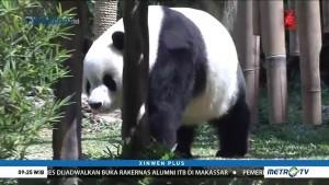 Panda Raksasa Milik Taman Safari Indonesia Terima Penghargaan