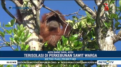 Orangutan Dievakuasi dari Perkebunan Sawit Aceh Barat Daya