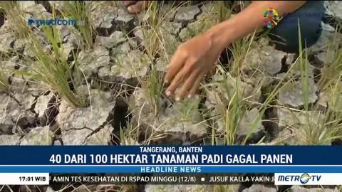 Puluhan Hektare Tanaman Padi di Tangerang Gagal Panen