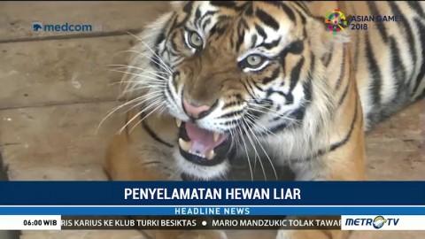 BBKSDA Sumut Persiapkan Kelahiran Anak Harimau Sumatera