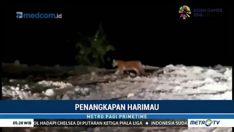 Harimau yang Resahkan Warga Padang Akhirnya Ditangkap