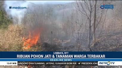 Ribuan Pohon Jati & Perkebunan Warga di Lembata Terbakar