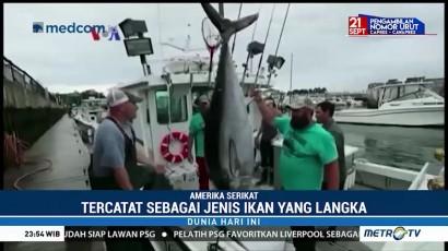 Penangkapan Massif Tuna Sirip Biru Atlantik