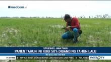 Puluhan Hektare Lahan Petani di Situbondo Gagal Panen