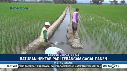 Ratusan Hektare Tanaman Padi di Polewali Mandar Terancam Gagal Panen