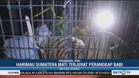 Harimau Sumatera Mati Terjerat Perangkap Babi