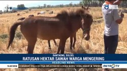 Ratusan Hektar Sawah di Banteng Mengering