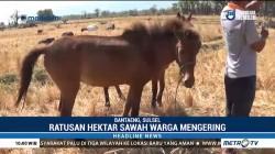 Ratusan Hektare Sawah di Bantaeng Mengering