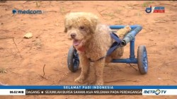 Kursi Roda untuk Hewan Cacat