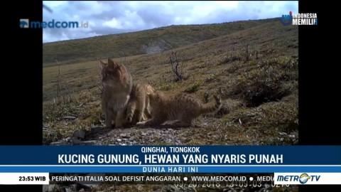 Pertama Kalinya Kucing Gunung Tiongkok Tertangkap Kamera