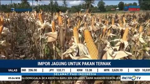 Pemerintah Impor 100 Ribu Ton Jagung untuk Pakan Ternak