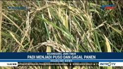 Ratusan Hektare Tanaman Padi di Bojonegoro Terserang Hama