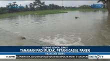170 Hektare Tanaman Padi di Serdang Bedagai Gagal Panen