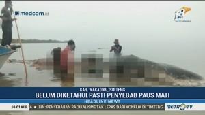 Bangkai Paus Terdampar di Wakatobi