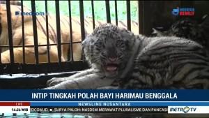 Intip Tingkah Polah Bayi Harimau Benggala