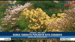 Keindahan Bunga Tabebuya Surabaya