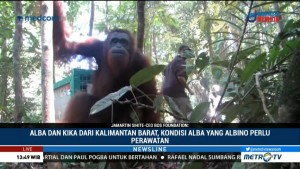 Perjuangan Pelepasliaran Orangutan