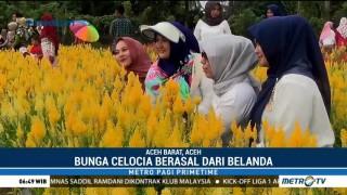 Cantiknya Taman Bunga Celosia di Aceh