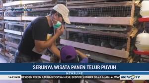 Serunya Wisata Panen Telur Puyuh di Lembang