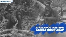37 Orangutan Terkena Ispa Akibat Hirup Asap