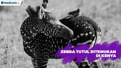 Zebra Tutul Langka Ditemukan di Kenya