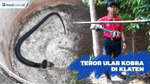 Teror Ular Kobra di Klaten