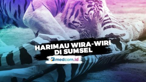 Harimau Suka Wira-Wiri di Sumatra Selatan